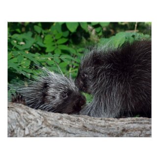 Porcupine - Mom and Baby Poster