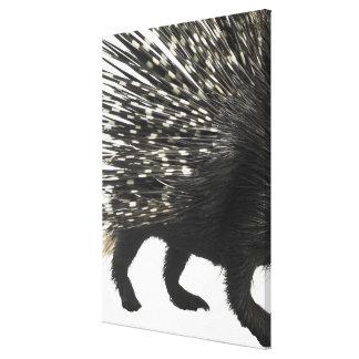 Porcupine quills canvas print