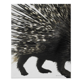 Porcupine quills poster