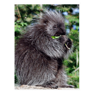 Porcupine Snacking Postcard