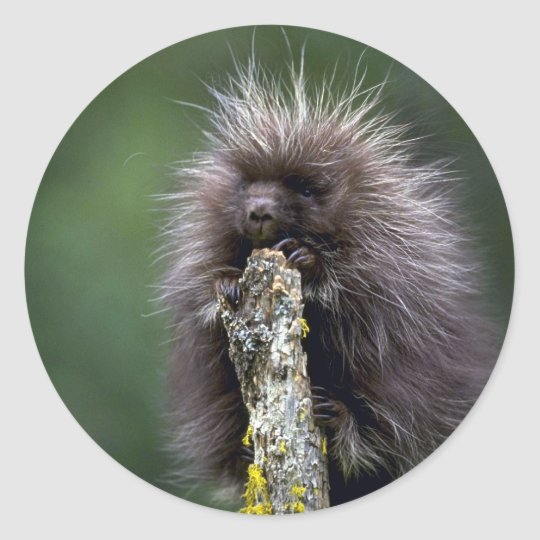 Porcupine-summer-youngster Classic Round Sticker