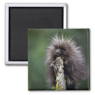 Porcupine-summer-youngster Magnet