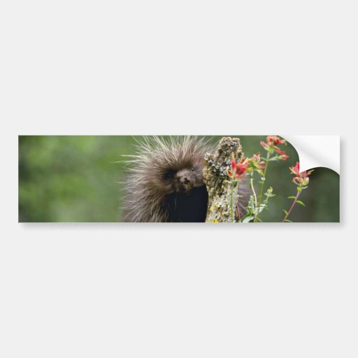 Porcupine-summer-youngster Pink flowers Bumper Stickers