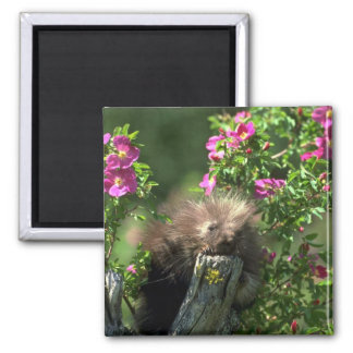 Porcupine-youngster in wild rose magnets