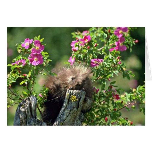 Porcupine-youngster in wild rose Pink flowers Greeting Card