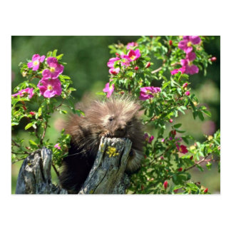 Porcupine-youngster in wild rose Pink flowers Postcard