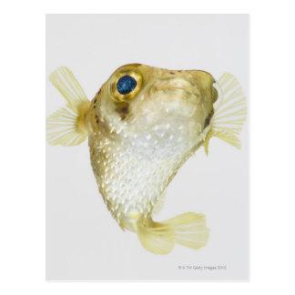 porcupinefish de la Punto-aleta (hystrix del Diodo Postales