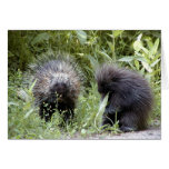 porcupines cards