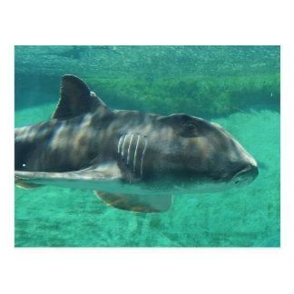 Port Jackson Shark Postcard