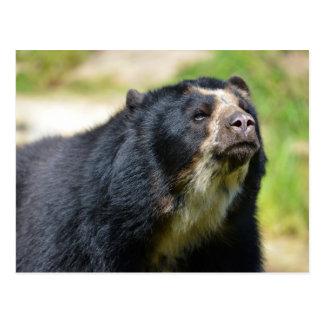 Portrait Andean bear Postcard