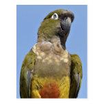 Portrait Burrowing Parrot Postcard