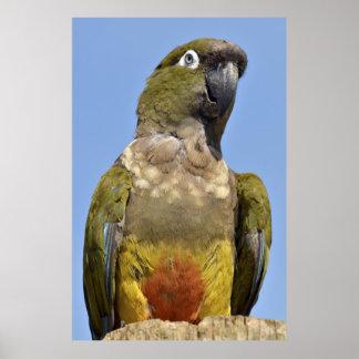 Portrait Burrowing Parrot Posters