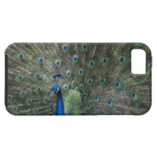 portrait, feathers, colorful, peacock, outdoors, iPhone SE/5/5s case