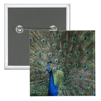 portrait, feathers, colorful, peacock, outdoors, pinback button