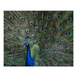 portrait, feathers, colorful, peacock, outdoors, poster