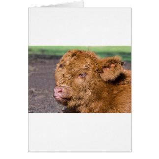 Portrait head newborn scottish highlander calf card
