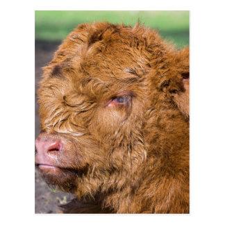 Portrait head newborn scottish highlander calf postcard
