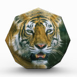 Portrait Indian tiger Awards