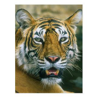 Portrait Indian tiger Postcard