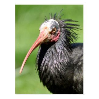 Portrait Northern Bald Ibis Postcard