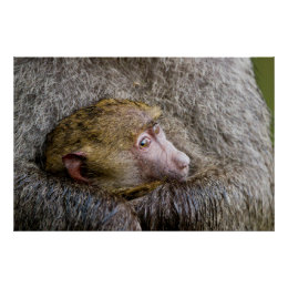 Portrait Of A Baby Olive Baboon (Papio Anubis) Poster