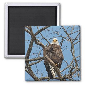 Portrait of a Bald Eagle Magnet