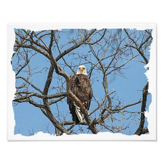 Portrait of a Bald Eagle Photo Print