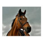 Portrait of a bay thoroughbred postcard