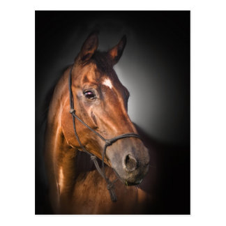 Portrait of a bay thoroughbred postcards