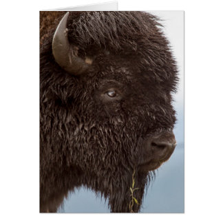 Portrait Of A Bison Bull In The Rain 2 Cards