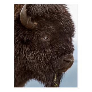 Portrait Of A Bison Bull In The Rain 2 Postcard