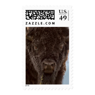 Portrait Of A Bison Bull In The Rain Stamp