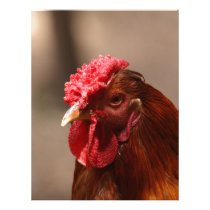 Portrait of a chicken on a farm. letterhead