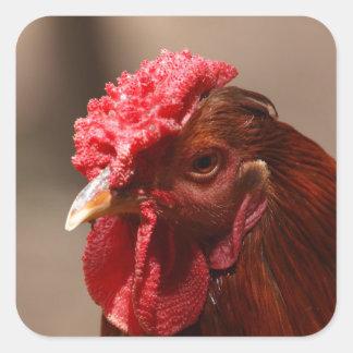 Portrait of a chicken on a farm. square sticker