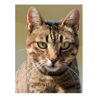 Portrait Of A Cute Tabby Cat With Direct Eye Conta Postcard