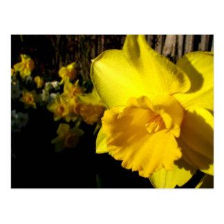 Portrait of a Daffodil Postcard