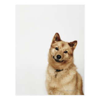 Portrait of a Finnish Spitz dog smiling Post Card