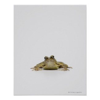 Portrait of a frog in a white studio poster