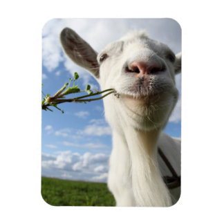 Portrait Of A Goat Eating A Grass On A Green Magnet