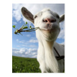 Portrait Of A Goat Eating A Grass On A Green Postcard