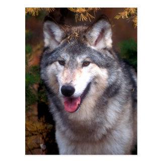 Portrait of a gray wolf postcard