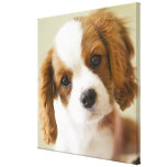 Portrait of a King Charles Spaniel puppy. Gallery Wrapped Canvas