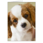 Portrait of a King Charles Spaniel puppy. Cards