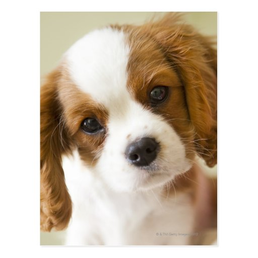 Portrait of a King Charles Spaniel puppy. Postcards