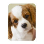 Portrait of a King Charles Spaniel puppy. Rectangular Magnet