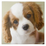 Portrait of a King Charles Spaniel puppy Large Square Tile