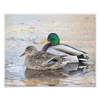 Portrait of a male and female mallard photo print