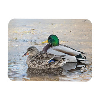 Portrait of a male and female mallard rectangular photo magnet