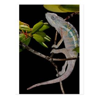 portrait of a male panther chameleon (furcifer par postcard