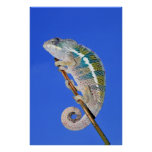 portrait of a male panther chameleon posters